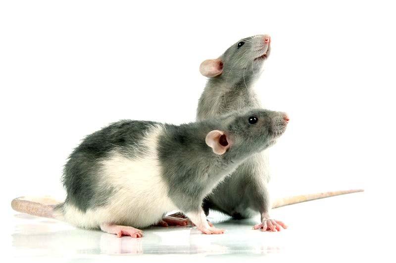 Лечение домашних крыс с клинике Кот Матроскин