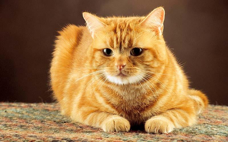 Уретростомия у котов в клинике Кот Матроскин