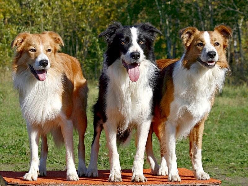Диагностика и лечение мокнущего лишая у собак