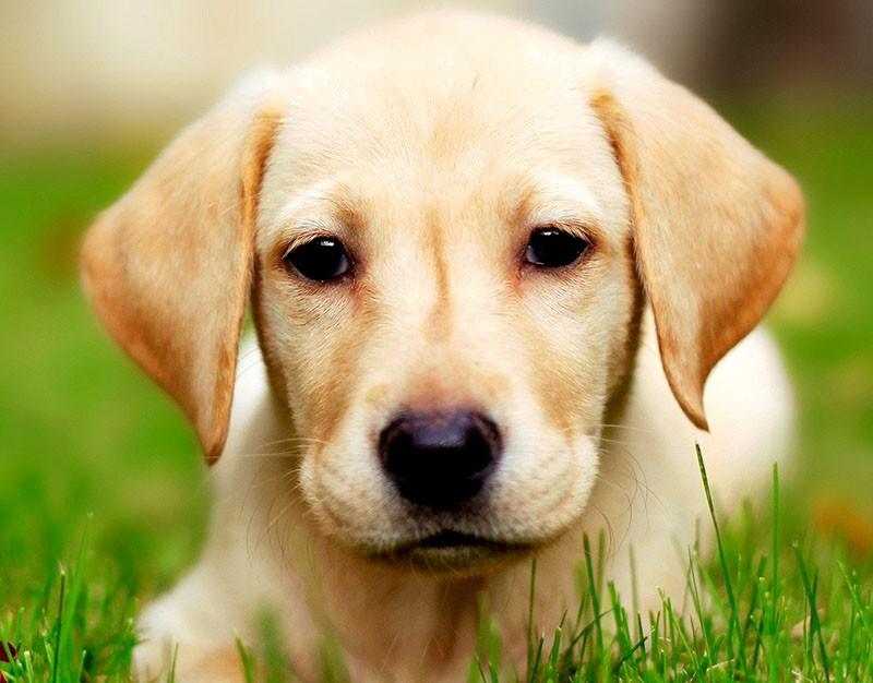 Лечение ушного клещей у собак