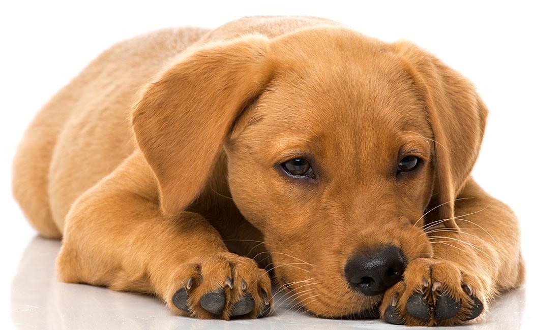 Лечение чумки у собак