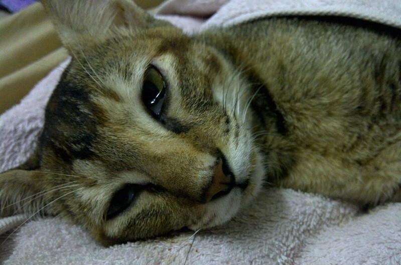 лейкоз у кошек что это такое